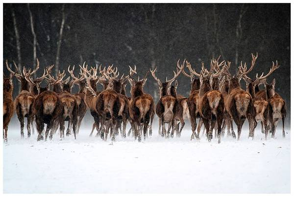 Let`s run deer (50x70 bilde Plexiglass)