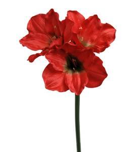 Bilde av Amaryllis assorterte 65 cm